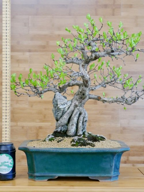 Other Outdoor Bonsai