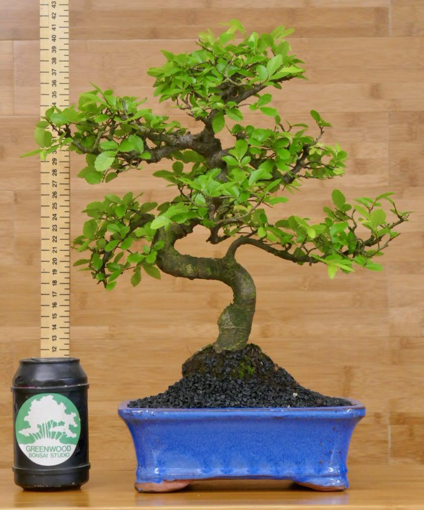 Leading Uk Suppliers Of Premium Bonsai Trees Greenwood Bonsai Studio