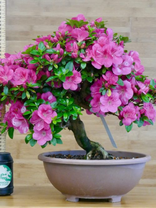 satsuki azalea bonsai tree for sale