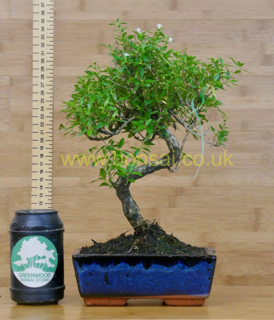 tree of 1000 stars bonsai tree serissa