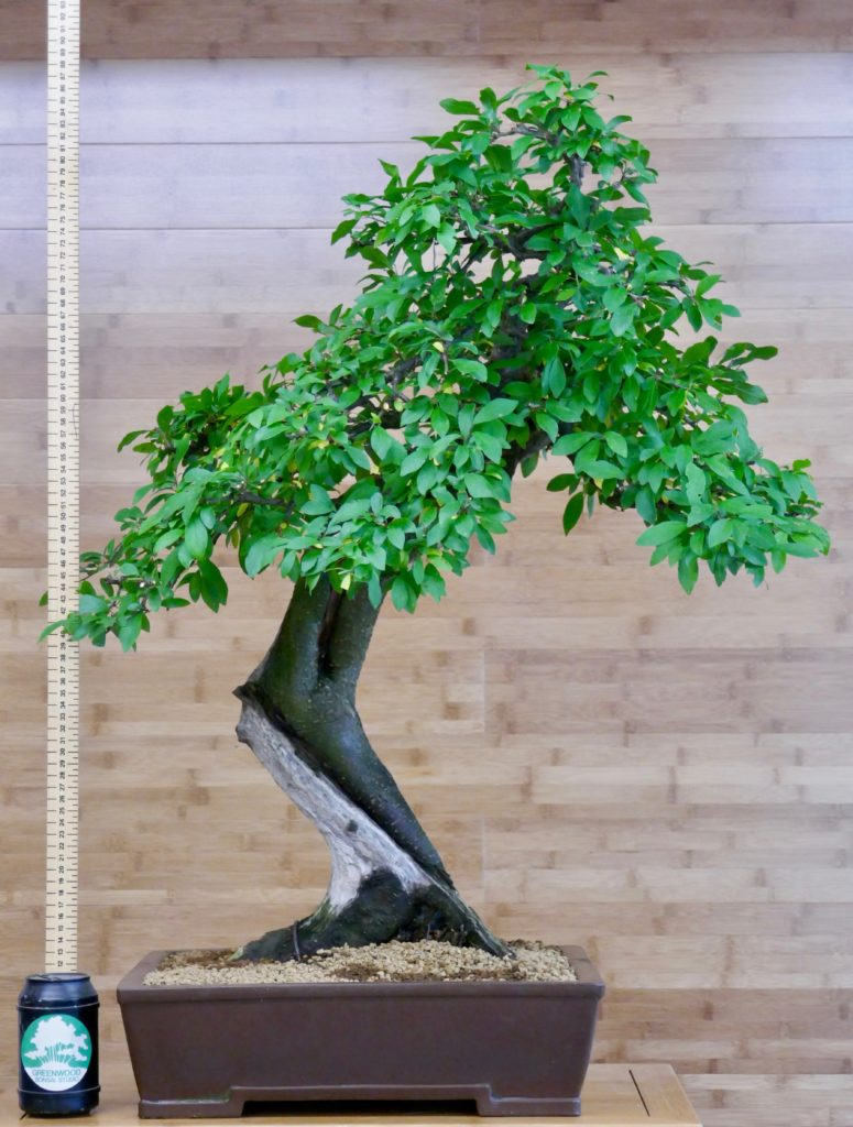 sloe bonsai for sale