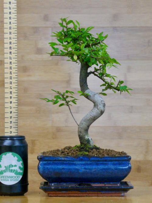 bird plum bonsai tree for sale online