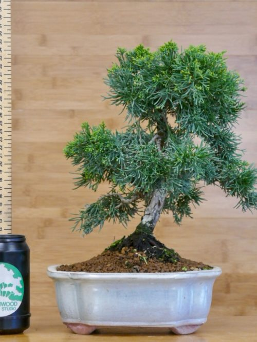 chinese juniper bonsai to buy online