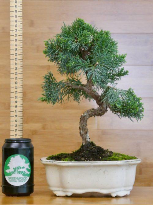 chinese juniper bonsai for sale