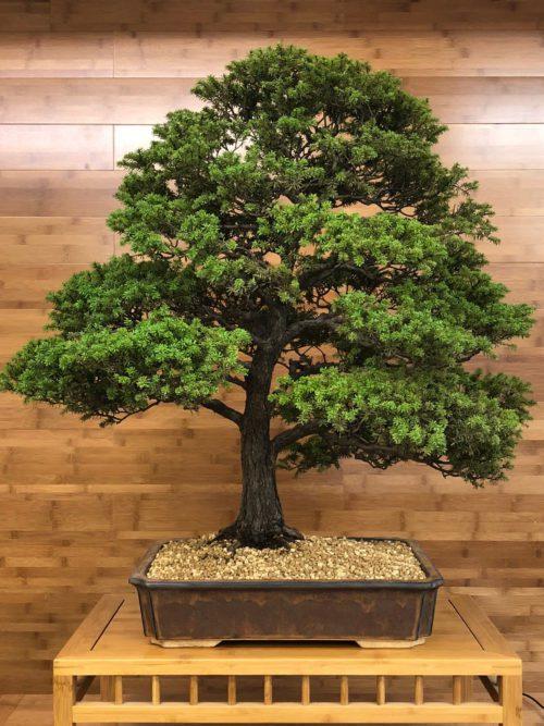 Yew, Spruce & Hemlock Bonsai