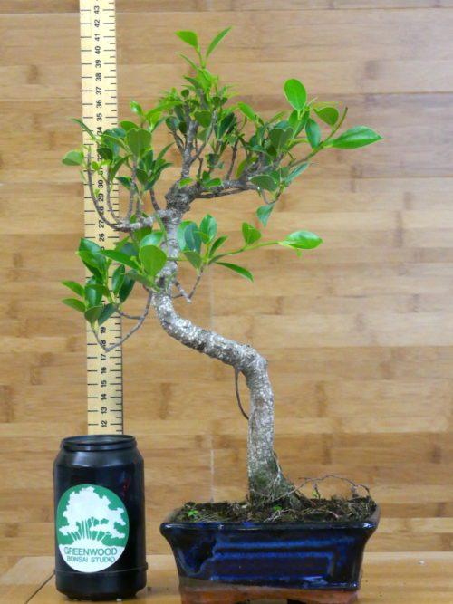big crab apple bonsai tree