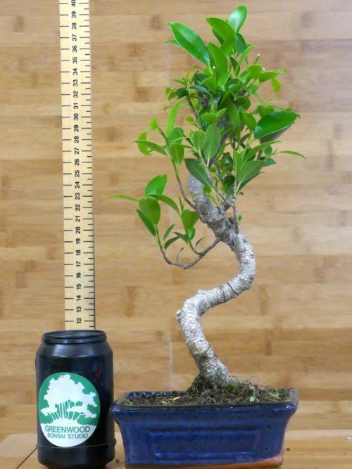tall bonsai tree