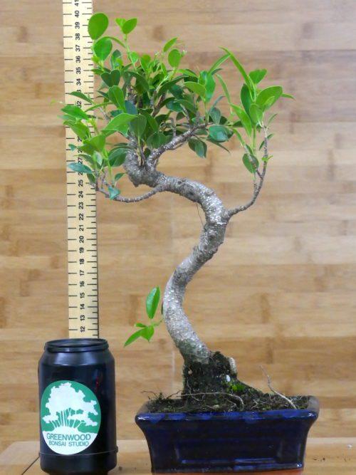 buy crab apple bonsai tree