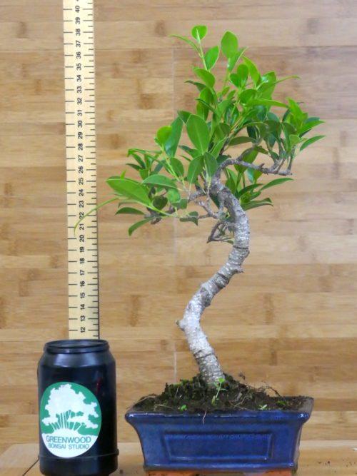 buy bonsai tree