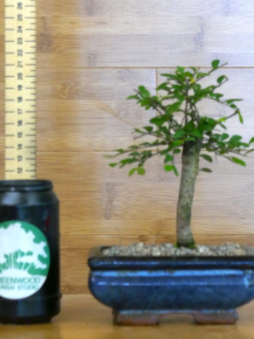 bonsai tree for sale UK