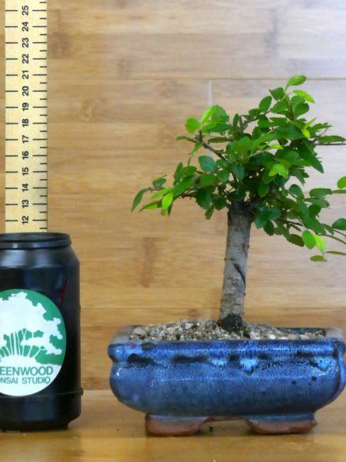 chine elm for sale bonsai