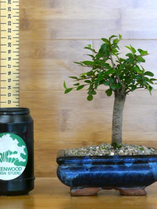 chinese elm bonsai tree for sale