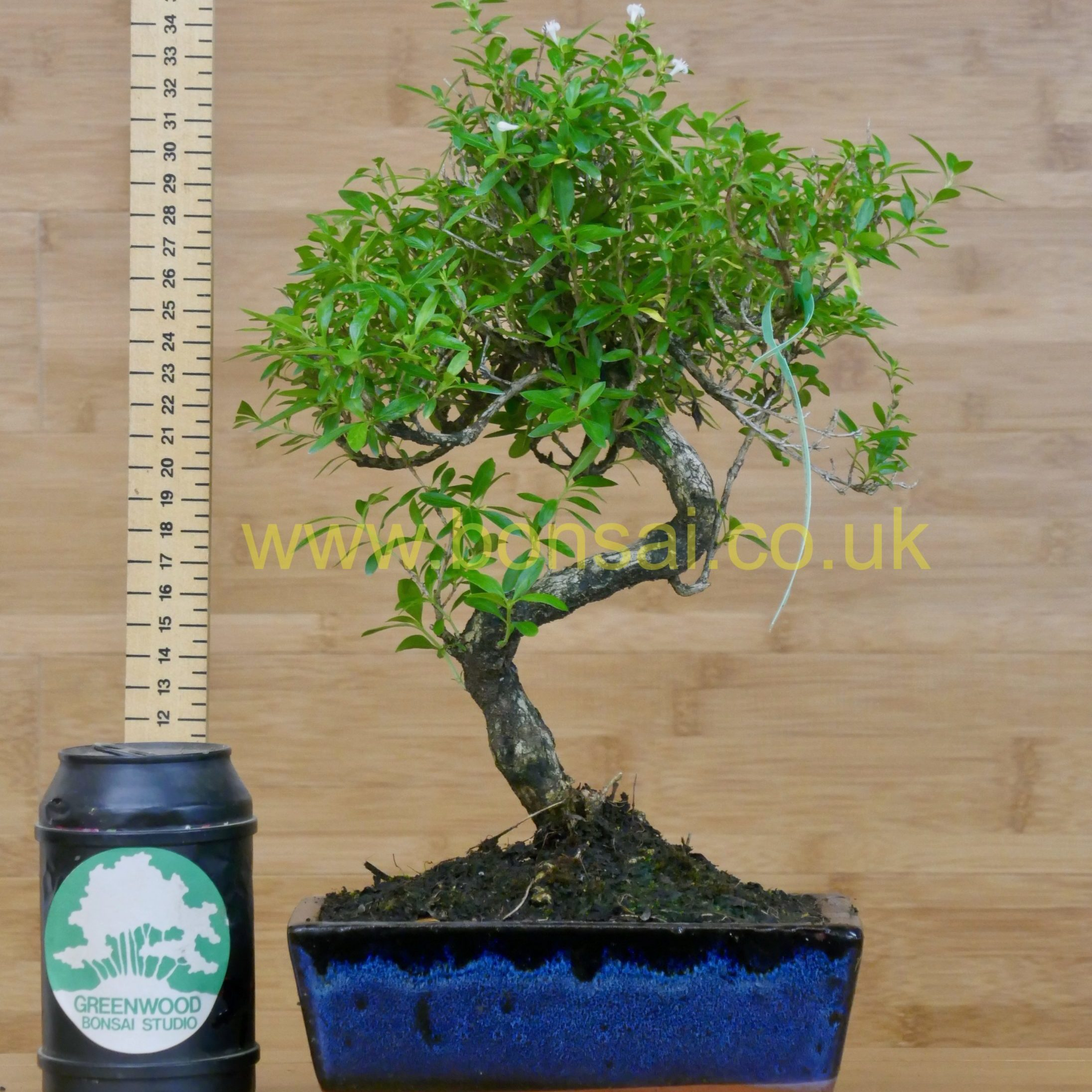 tree of 1000 stars bonsai tree serissa