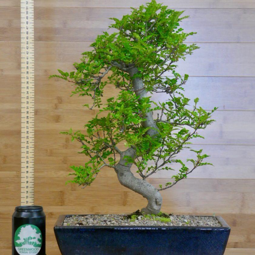 tall bonsai trees