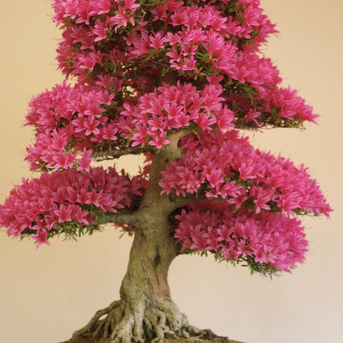 gwb-satsuki-bonsai